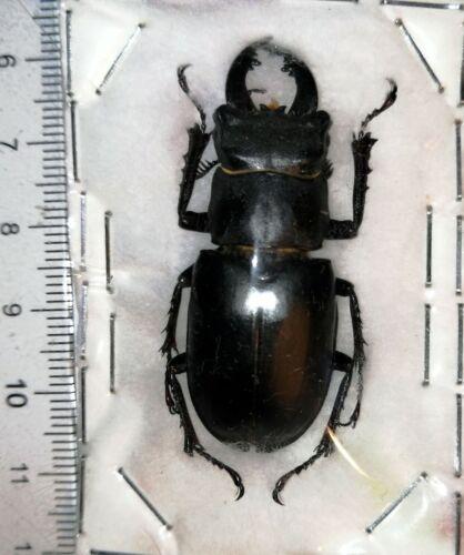 Lucanus ibericus, Russia, A1, RECORD, ~49-50 mm!