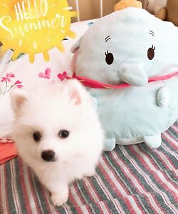 Mini/Teacup Pomeranian Puppy for sale!