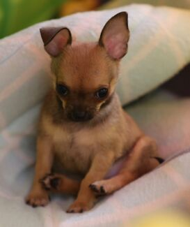QUALITY PEDIGREE ANKC MAINS REGISTERED CHIHUAHUA PUPPIES