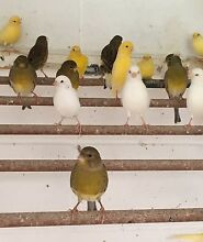 Fife canaries males and females Alexandra Hills Redland Area Preview