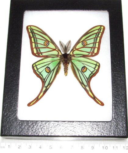 REAL FRAMED GREEN SPANISH MOON MOTH GRAELLSIA ISABELLAE MALE