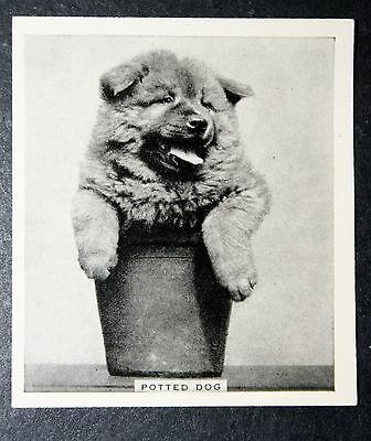 Chow Chow in Plant Pot        Original  1930's Vintage Photo Card  CAT A