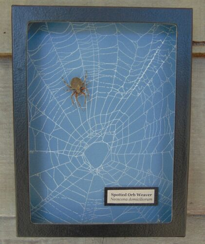 E703) Real Spotted Orb Weaver Spider on actual Web 6X8 framed taxidermy display