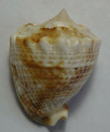 edspal shells- Sea shell cassis cornuta 31.5mm F+++, very small conchology shell