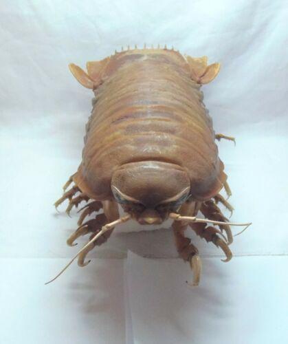 Giant Isopod Bathynomus giganteus, 315 mm Taxidermy Oddities Curios
