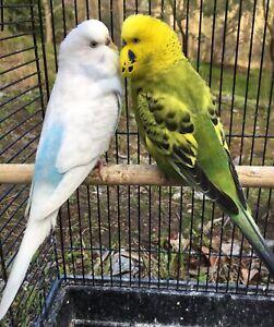 Budgies  Breeding pair  | Birds | Gumtree Australia