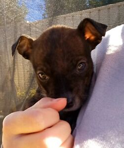 Female Staff x pup, puppy for sale