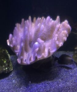 EXTRA LARGE LEATHER CORAL - $125