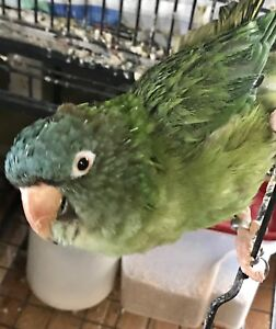 Blue crown conure (ON HOLD)