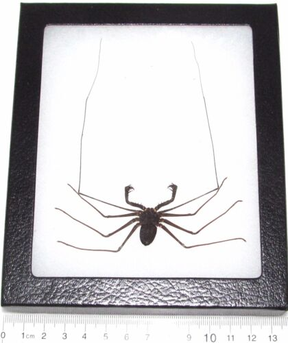 REAL FRAMED WHIP SCORPION INDONESIA VINEGAROON