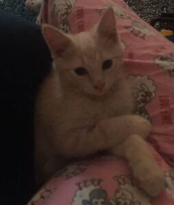 14week old male kitten ( Southern Tas Cat Rescue) Ranelagh Huon Valley Preview