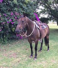 Brown ASH Gelding Moggill Brisbane North West Preview