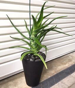 Large Aloe Vera plant Bunbury Bunbury Area Preview