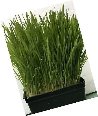 Wheat Grass Seed 1lb - Guaranteed To Grow - $23.99