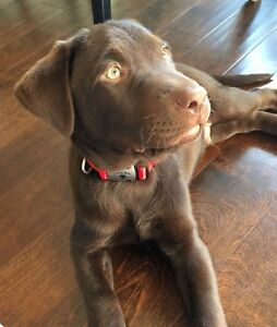 Chocolate Lab for sale $675 or best offer