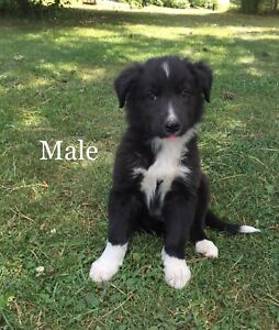 BORDER COLLIE CROSS PUPPIES