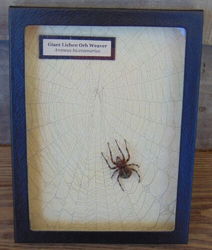 E714) Real Giant Lichen Orb Weaver Spider on actual Web 6X8 framed taxidermy USA