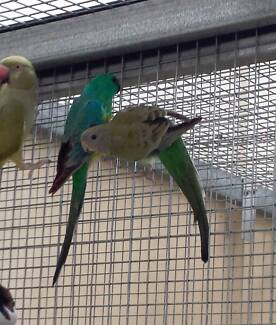 Red rump parrots $49pr Rooty Hill Blacktown Area Preview