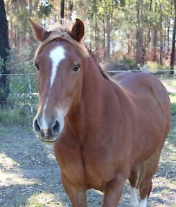 Welsh cob x Wingham Greater Taree Area Preview