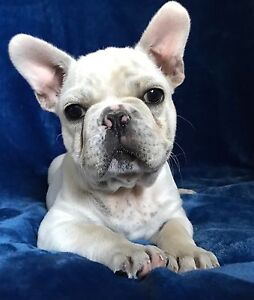 Cream French Bulldog puppy Gympie Area Preview