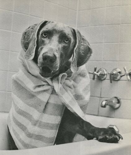 WEIMARANER TAKES A BATH Vintage Full Page 50 year-old Photo Print