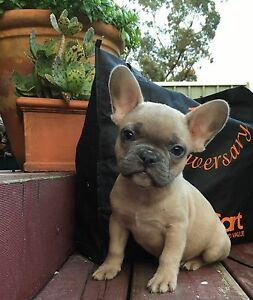 Gorgeous Purebred French Bulldog Puppies Hornsby Hornsby Area Preview