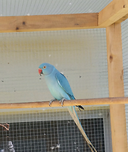Breeding pair of indian ringnecks Ormeau Gold Coast North Preview
