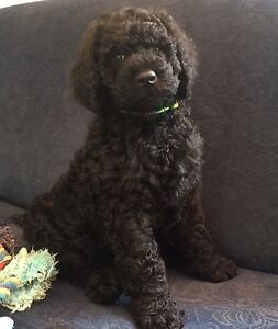 Standard Poodle Puppy Upper Plenty Mitchell Area Preview