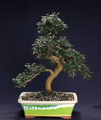(Chinese Elm Bonsai Outdoor/Indoor Large Beginner Bonsai Tree CE8003)