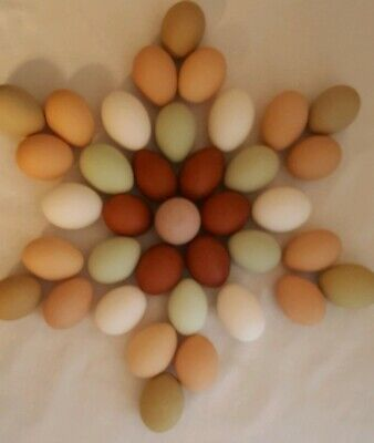 12+Marans Legbar Olive Egger 55 Flowery Hen RAINBOW CHICKEN HATCHING EGGS