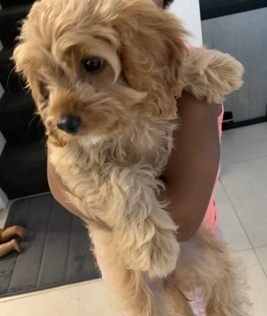 Toy Cavoodle First Generation Dogs Amp Puppies Gumtree