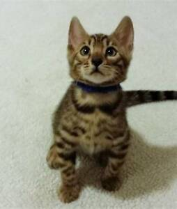 Purebred Brown Rosette Bengal kittens