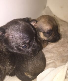 Chihuahua Puppies x 3 All Homed. Thank you all for your interest ❤️ Hamilton Hill Cockburn Area Preview