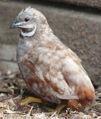 12 Button Quail Hatching Eggs Npip Ai