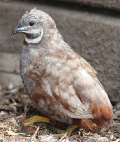 12+ Button Quail  Hatching Eggs NPIP & AI