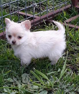 Chihuahua longcoat pedigree puppy tiny