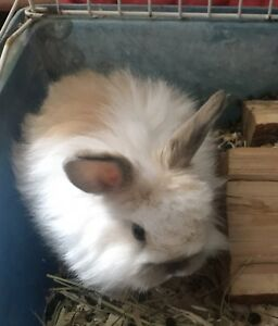Male baby Holland Lop bunny