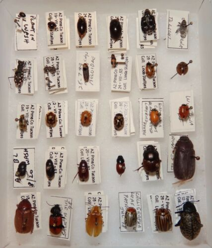 Arizona Beetle Collection Mixed Coleoptera 30 specimens WOW Insect Entomology