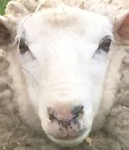 1 x FREE sheep! Need gone ASAP! Meadows Mount Barker Area Preview