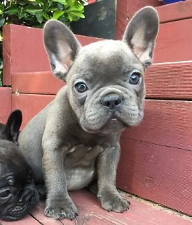 8 weeks old. Beautiful Blue/ Blue Fawn  French Bulldog Puppies.