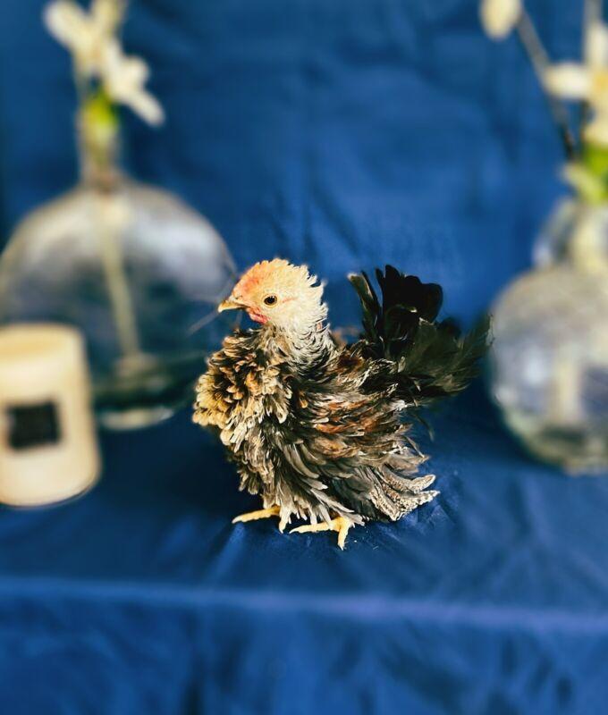8 Serama Fertile Hatching Eggs Micro A & Small B Pure Smooth Frizz Silkie & Show