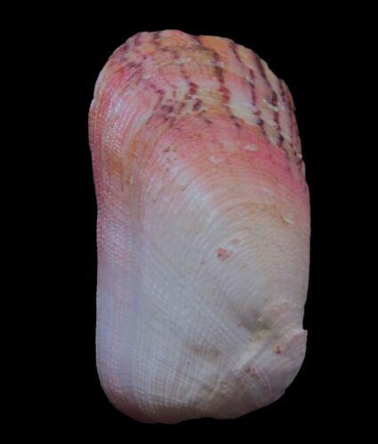 Sea Shells - Trapezium gilvum 105mm