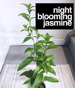 Night Blooming Jasmine (Cestrum Nocturnum)