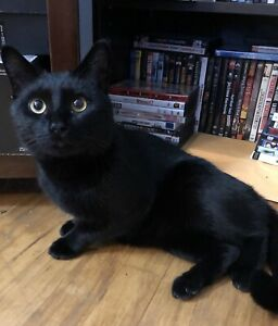 10 Month Old- Black Male Cat- Looking for a good home!