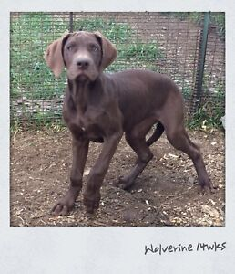 Lovely Chocolate Great Dane Pup
