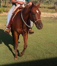 Quarter Horse Lissner Charters Towers Area Preview