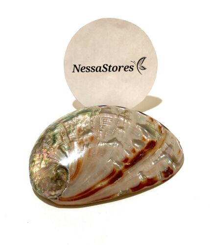"""Red Abalone Sea Shell Both Side Polished Beach Craft 3"""" - 4"""" ( 1 pc)#JC-22"""