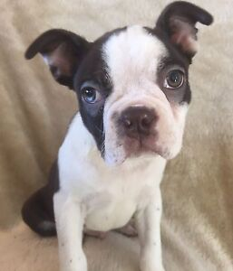 LAST ONE! PRICE REDUCED! Boston Terriers
