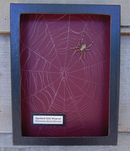 E707) Real Spotted Orb Weaver Spider on actual Web 6X8 framed taxidermy display