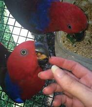 Eclectus Parrot … stunning tame 16MO female Sydney City Inner Sydney Preview